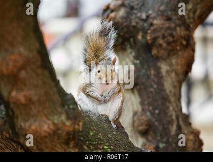 American red squirrel (Tamiasciurus hudsonicus) on tree limb - Virginia USA - Stock Image