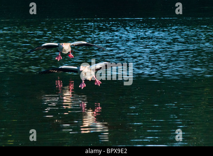 Two Egyptian geese come in to land on the Serpentine in Hyde park, London - Stock Image