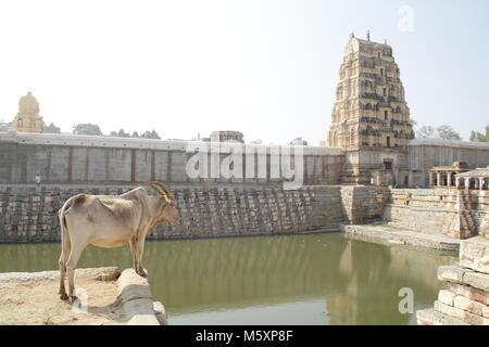 A cow looking over the temple pond at the Virupaksha temple, Hampi, Karnataka, India. - Stock Image