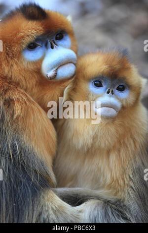 Golden monkey (Rhinopithecus roxellana) adult male and female huddled together, Qinling Mountains, China. - Stock Image