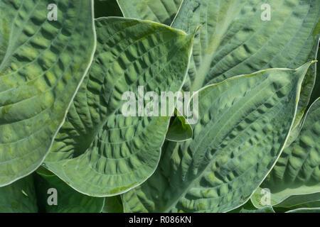 Close-up of Hosta / Plantain Lily / Giboshi leaf foliage in sunshine. - Stock Image