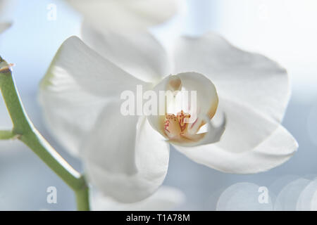 White orchids on sun light, the green bud, a new flower, a butterfly, macro, Phalaenopsis, Doritis, Grafia, Kingidium, Kingiella, Lesliea, Synadena, S - Stock Image