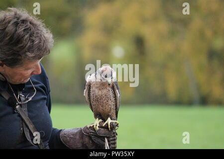 Jemima Parry-Jones holding a kestre at the international centre for birds of prey.l - Stock Image