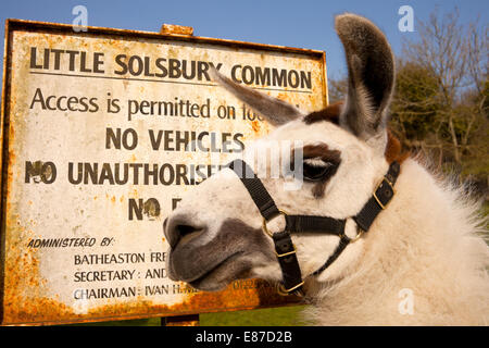 White Llama head with sign - Stock Image