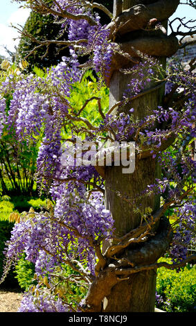 flowering wisteria flowers wrapped around timber post, houghton hall, norfolk, england - Stock Image