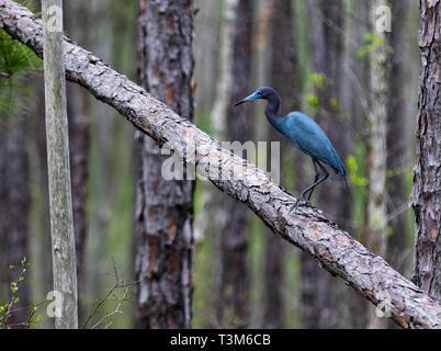 Adult Little Blue Heron on fallen longleaf pine tree in Okefenokee swamp. - Stock Image