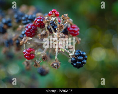 Blackberries in the hedgerow, in the county of Norfolk, England, UK - Stock Image