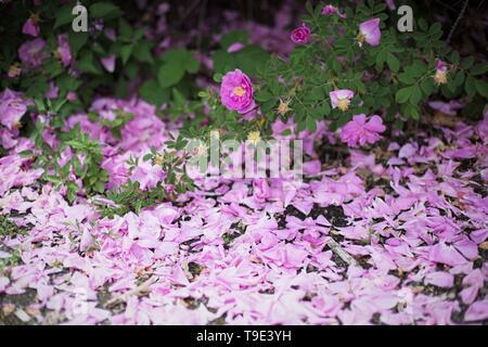 Pink petals fallen from rose bushes at the Owen Rose Garden in Eugene, Oregon, USA. - Stock Image