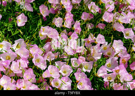 Blossom of pink bellflowers campanula flowers in garden, nature background close up - Stock Image