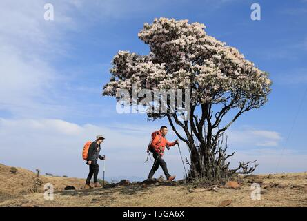 Chengdu, China's Sichuan Province. 23rd Apr, 2019. Outdoor activity enthusiasts walk past wild blooming rhododendrons in Yanbian County of Panzhihua City, southwest China's Sichuan Province, April 23, 2019. Over 100,000 mu (66,667 hectares) wild rhododendrons are in bloom in Yanbian County from February to May. Credit: Jiang Hongjing/Xinhua/Alamy Live News - Stock Image