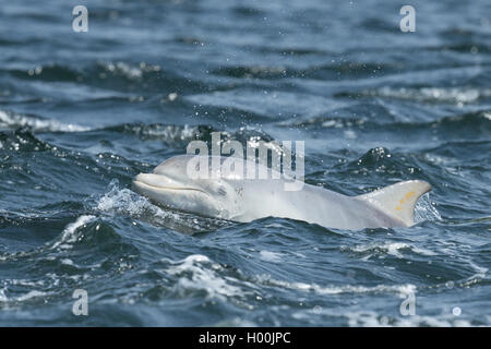 Bottlenose dolphin calf in the Moray Firth - Stock Image