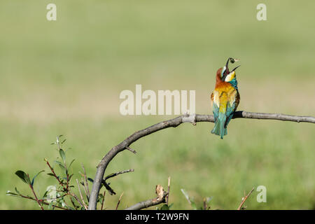 European bee-eater, Latin name Merops apiaster, perched on a branch in warm lighting tossing a bee into the air - Stock Image