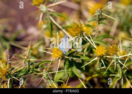 Adonis Blue butterfly (Polyommatus bellargus) at the Makvrokolympos Dam in the Mediterranean island of Cyprus - Stock Image