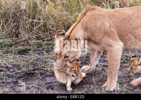 Lioness, Panthera Leo, carrying a cub in her mouth, Masai Mara National Reserve, Kenya, East Africa - Stock Image
