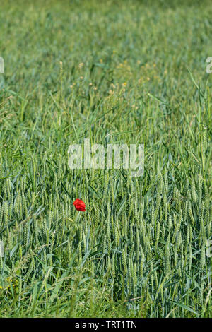 Solitary red poppy in field of green crops - Stock Image
