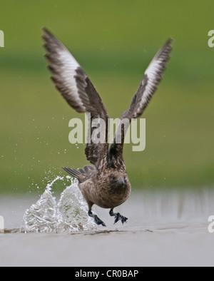 Great skua or bonxie (Stercorarius skua) adult taking off from freshwater loch. Shetland Isles. June. - Stock Image