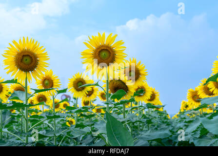 Close up of sunflower fields with blooming flowers like the sun shining in organic farms - Stock Image
