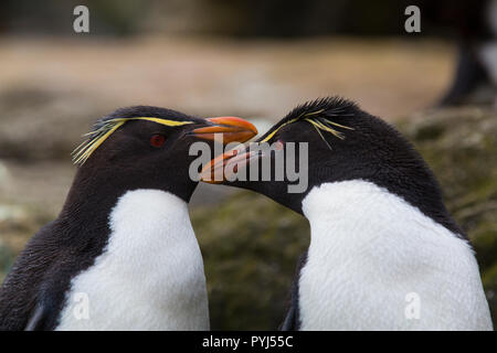 Rockhopper penguin colony, New Island, Falkland Islands. - Stock Image