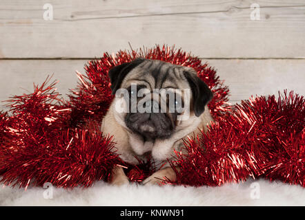 cute Christmas pug puppy dog, lying down in red tinsel on sheepskin, with vintage wooden background - Stock Image