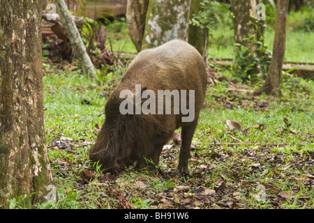 Bearded Pig, Sus barbatus - Stock Image