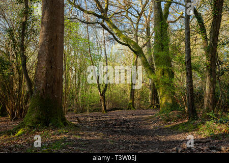 Spring morning in Binsted Woods, West Sussex, England. - Stock Image