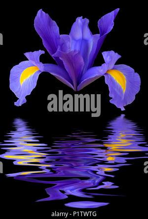 Iris reticulata flower head looking like a spaceship reflected in water - Stock Image
