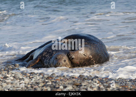 Grey Seal, Kegelrobbe, Halichoerus grypus, Helgoland, mating pair in the surf - Stock Image