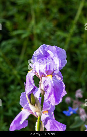 The mauve purple flower of an Iris plant with water drops after a recent rain shower shown against a dark green background - Stock Image