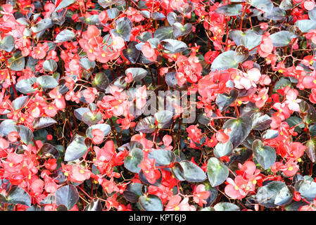 Red flowers growing in a mass of bright colours - Stock Image