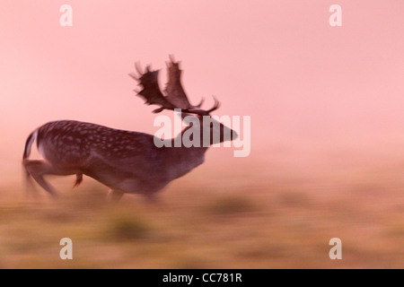 Fallow Deer (Dama dama), Buck Running in Dawn Light, Royal Deer Park, Klampenborg, Copenhagen, Sjaelland, Denmark - Stock Image