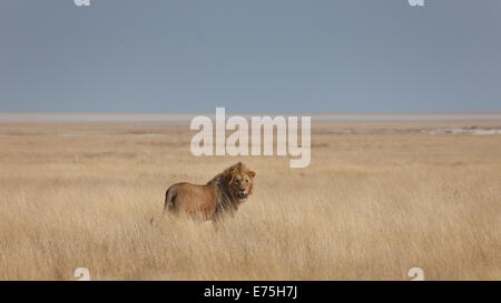 Lion, Africa - Stock Image