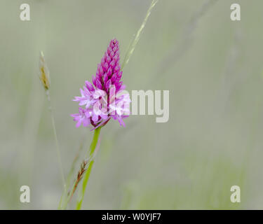 Pyramidal Orchid Flower - Stock Image