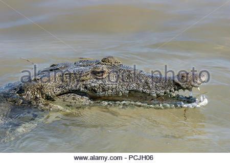 American crocodile - Crocodylus acutus - Stock Image