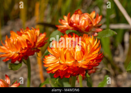 Three vibrant orange chrysanthemums in the summer sun © Jeremy Graham-Cumming - Stock Image