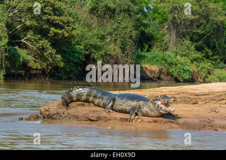 Yacare Caiman, Caiman crocodilus yacare, mouth open, on the bank of a river in the Pantanal, Mato Grosso, Brazil, - Stock Image