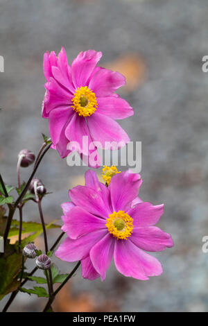 Late summer, semi double pink flowers of the hardy perennial Japanese anemone, Anemone x hybrida 'Serenade' - Stock Image