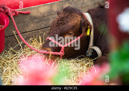 90th Kent County Show, Detling, 6th July 2019. Cattle resting in-between shows. - Stock Image