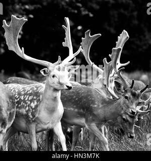 A herd of female deer roaming through woodland - Stock Image