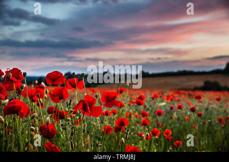 Detailed close up of natural, wild, red poppy flowers in a UK poppy field at sunset, without people, without property; poppy heads in evening sunlight. - Stock Image