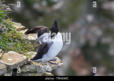 Detailed, close-up side view of a wild, British razorbill seabird (Alca torda) perched on exposed cliff edge at Bempton UK, wings spread stretching up. - Stock Image