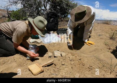 Paleontologists digging dinosaur bone fossils Utah Great Basin desert scientist - Stock Image
