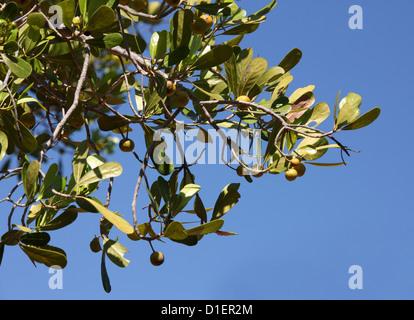 Tapia, Uapaca bojeri, Phyllanthaceae (Euphorbiaceae). Ranohira, Isalo National Park, Madagascar, Africa. - Stock Image