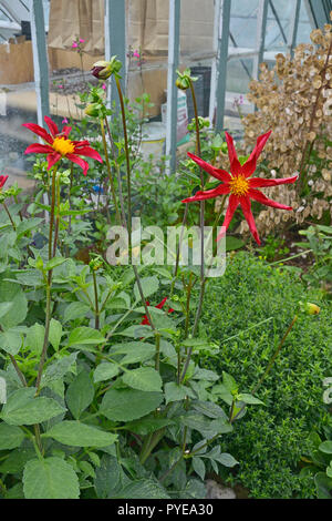 Close up of the Dahlia 'Honka Surprise' in a flower border - Stock Image