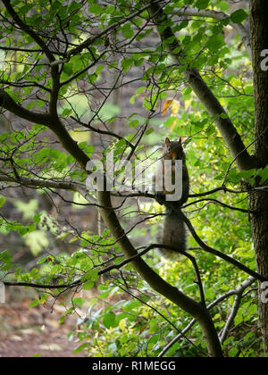 Cheeky grey squirrel - Sciurus Carolinensis hiding in the branches - Stock Image