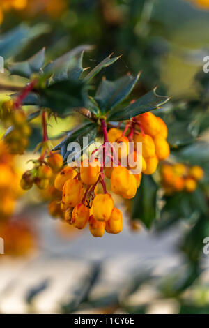 Darwin's barberry - Berberis darwinii - an evergreen shrub with its colourful drooping racemes of rich orange flowers during spring in the UK - Stock Image