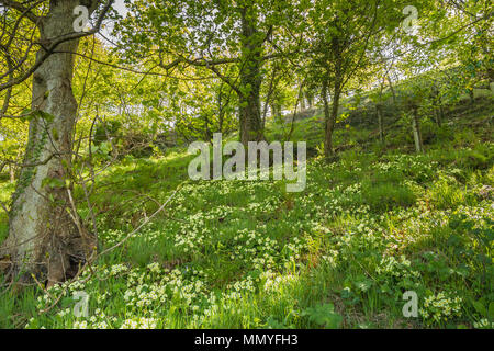 A carpet of wild primroses Primula Vulgaris in a woodland setting in dappled shade - Stock Image