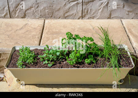 Organic garden fresh herbs, oregano, chives, parsley, and lemon thyme growing in a window box. - Stock Image