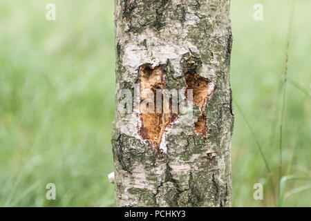 A woodpecker attack to this birch tree nature birdwatching outdoors - Stock Image