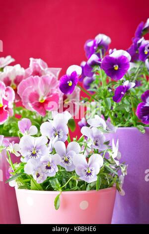 purple violet pansies red background - Stock Image