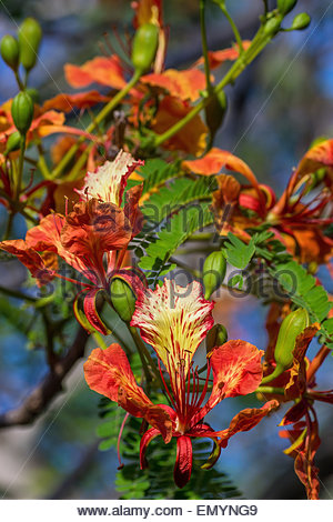 Caesalpinia pulcherrima flower, known as  Poinciana, Peacock Flower, Red Bird or Mexican Bird of Paradise… - Stock Image